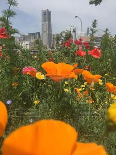 オレンジ色と黄色の花のグループの写真・画像素材[1145995]