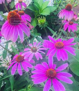 ピンクの花の束の写真・画像素材[1272739]