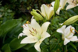 白い花の写真・画像素材[382481]