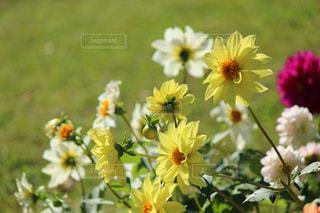 黄色い花の写真・画像素材[847414]