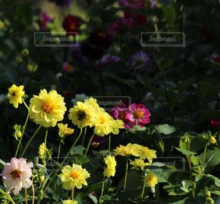 黄色いダリアの花の写真・画像素材[847415]