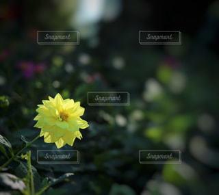 黄色いダリアの花の写真・画像素材[847416]