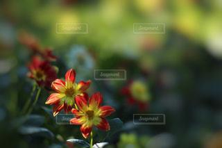 赤いダリアの花の写真・画像素材[847417]
