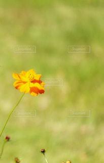 黄色いコスモスの花の写真・画像素材[847470]