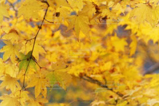 黄色の葉の写真・画像素材[903440]