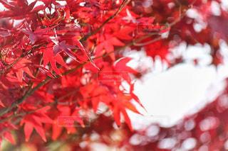紅葉の写真・画像素材[903441]