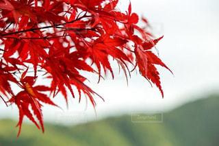 紅葉の写真・画像素材[903447]