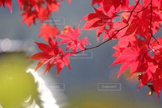 紅葉の写真・画像素材[903500]