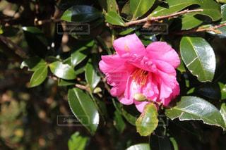 ピンクの花の写真・画像素材[903558]