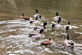鴨の群れの写真・画像素材[903663]