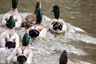 鴨の水体水泳の写真・画像素材[903664]