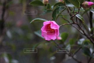 ピンクの花の写真・画像素材[903666]