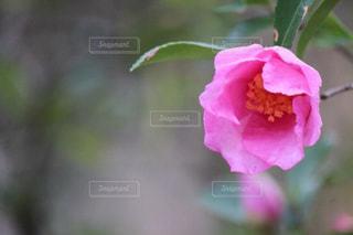 ピンクの花の写真・画像素材[903667]