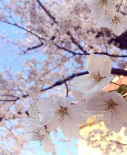 桜の木の写真・画像素材[1088817]