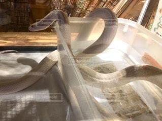 蛇の写真・画像素材[2305669]