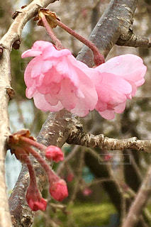 木の枝に咲く桜の花の写真・画像素材[3063816]