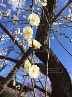 梅の花 南部 和歌山 きれい 晴れの写真・画像素材[375964]