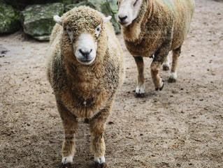 羊汚れフィールドの上に立ってのグループの写真・画像素材[815675]