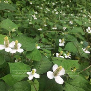 花の写真・画像素材[376750]
