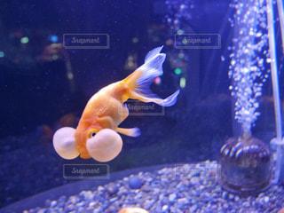 金魚 - No.377101