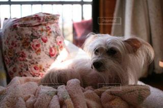 犬の写真・画像素材[386596]