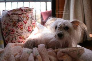 犬の写真・画像素材[386599]