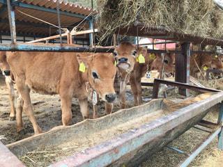 牛の写真・画像素材[498345]