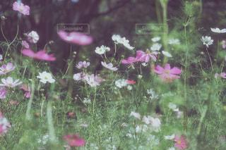 暗闇に咲くコスモスの写真・画像素材[753964]