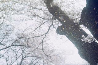 雪の木の写真・画像素材[979667]