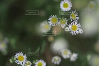 黄色の花の写真・画像素材[979669]
