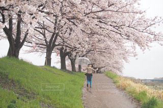 雨の日のお花見の写真・画像素材[979684]