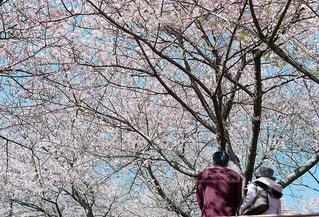 花見をしている老夫婦の写真・画像素材[1057325]