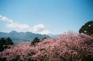 富士山と桜の写真・画像素材[1057328]