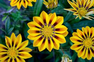 黄色の花の束の写真・画像素材[709355]