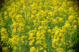 菜の花の写真・画像素材[1105073]