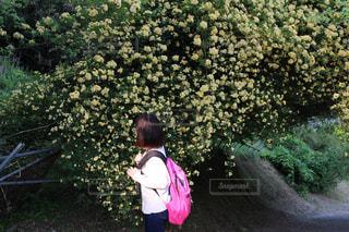 藤園の薔薇の写真・画像素材[1189484]