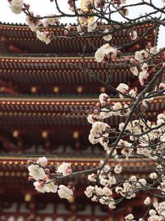 梅の写真・画像素材[379681]