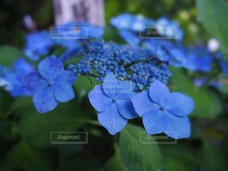 紫陽花 - No.588127