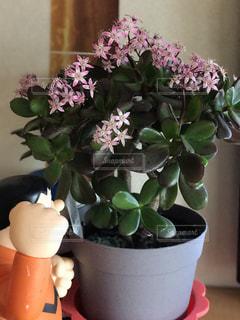 桜花月 盆栽の写真・画像素材[382459]