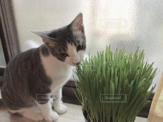 猫草食べるよの写真・画像素材[1186731]