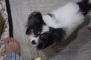 #見上げるパピヨンの写真・画像素材[384580]