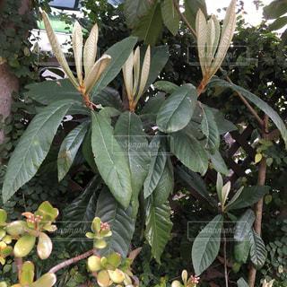 #ビワの新芽と成金草の写真・画像素材[384581]