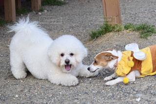 犬の写真・画像素材[381905]
