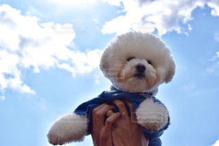 犬,自然,空,春,動物,飛ぶ,昼,ビションフリーゼ