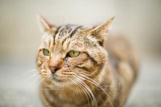 猫の写真・画像素材[439004]