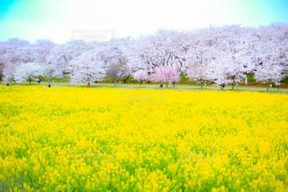 桜の写真・画像素材[439005]