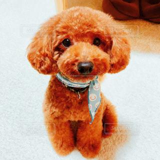 着ぐるみを着た犬の写真・画像素材[1468140]
