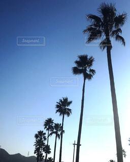 ヤシの木の写真・画像素材[974000]
