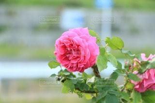 花の写真・画像素材[17517]