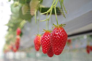 苺の写真・画像素材[385586]